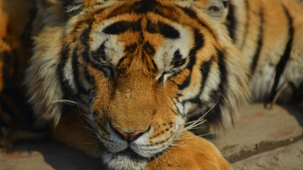 A Siberian tiger is seen at the world's largest Siberian tiger breeding and breeding base in Harbin, Heilongjiang province, China, May 1, 2021.