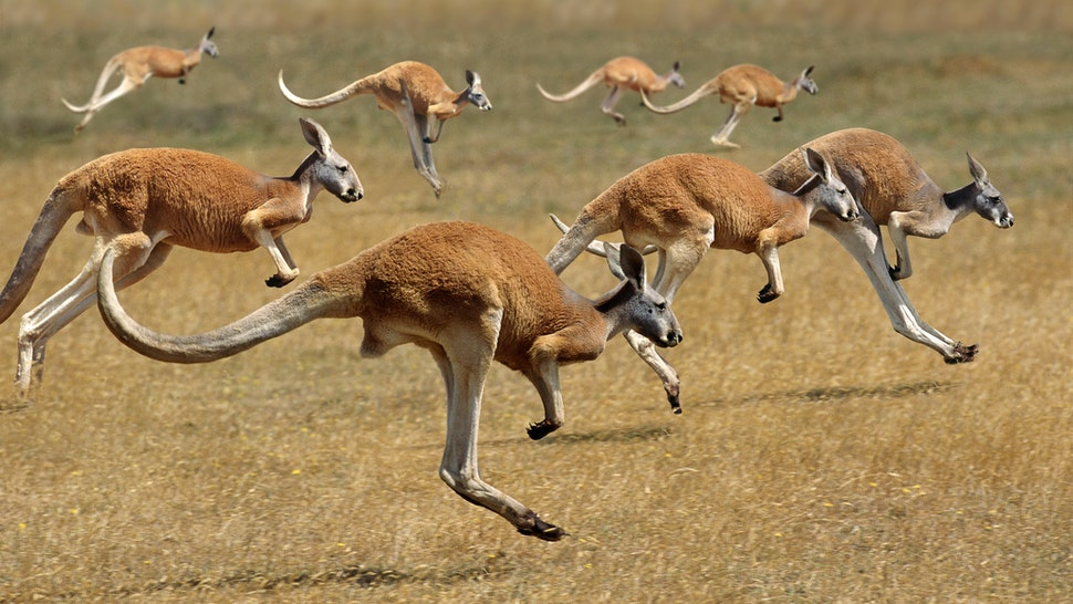Red Kangaroo, macropus rufus, Australia, Group running - stock photo