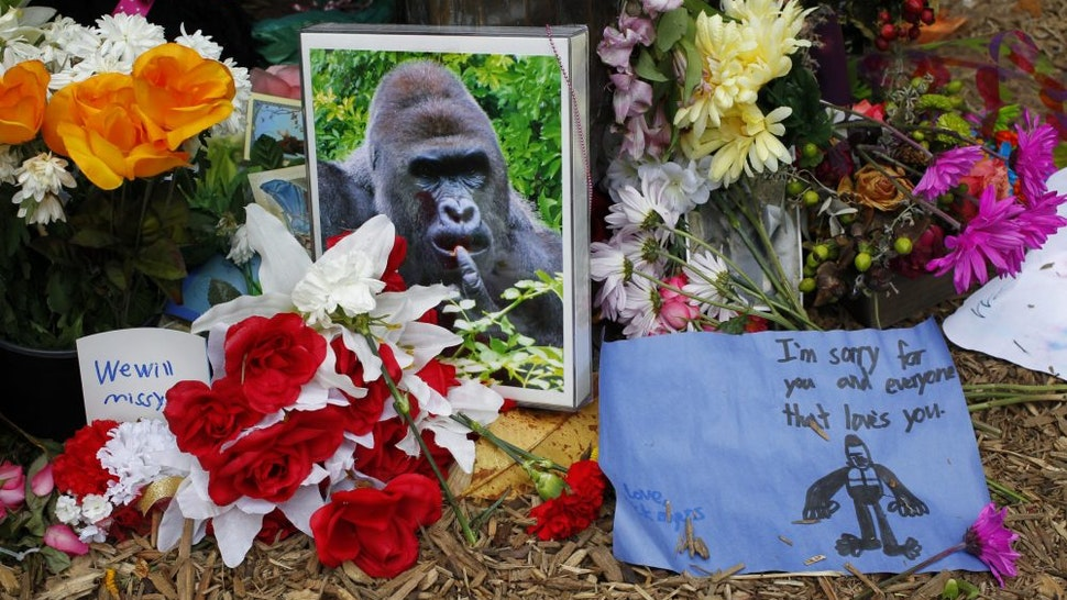CINCINNATI, OH - JUNE 2: Flowers lay around a bronze statue of a gorilla and her baby outside the Cincinnati Zoo's Gorilla World exhibit days after a 3-year-old boy fell into the moat and officials were forced to kill Harambe, a 17-year-old Western lowland silverback gorilla June 2, 2016 in Cincinnati, Ohio. The exhibit is still closed as Zoo official work to up grade safety features of the exhibit.