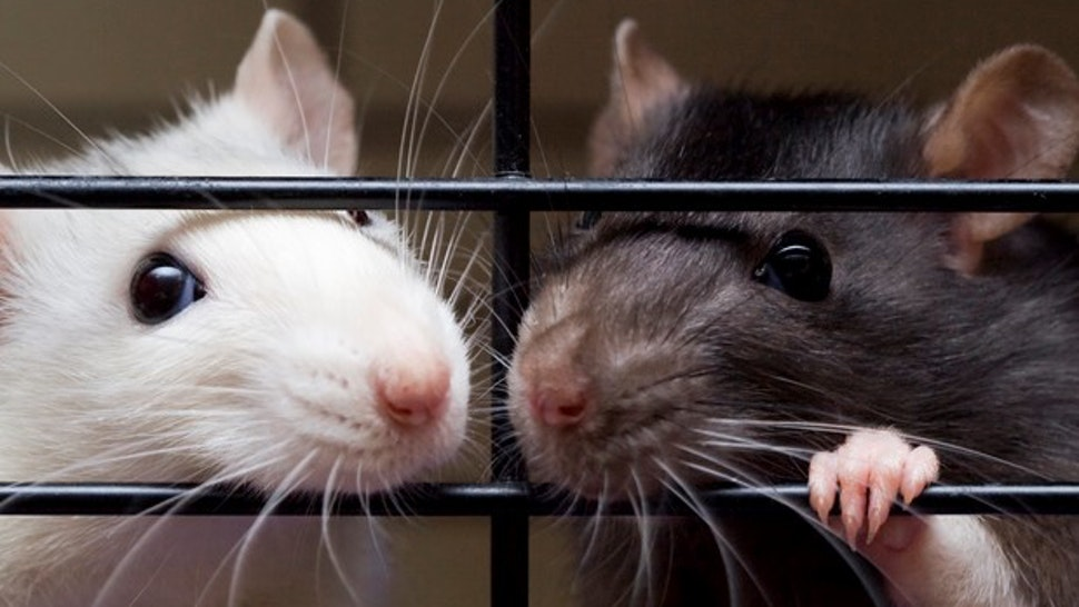 Close up of two pet fancy rats, one white and silver, one dark brown and white, looking through bars of their cage.