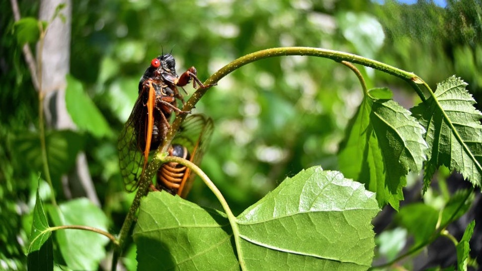 NANTICOKE, UNITED STATES - 2021/06/05: Brood X also known as the Great Eastern Brood Cicada seen in Pennsylvania. Every 17 years, Brood X cicadas come out of the ground to mate and die. (Photo by