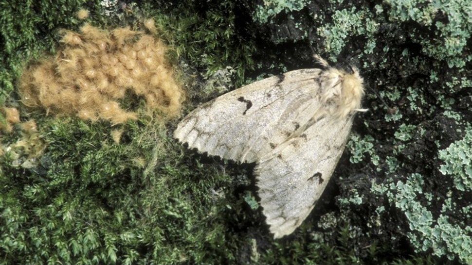 Gypsy moth. Female with egg mass, Lymantria dispar. One female can produce an egg mass of 400 eggs. Michigan. Forest tree pests. - stock photo Ed Reschke via Getty Images